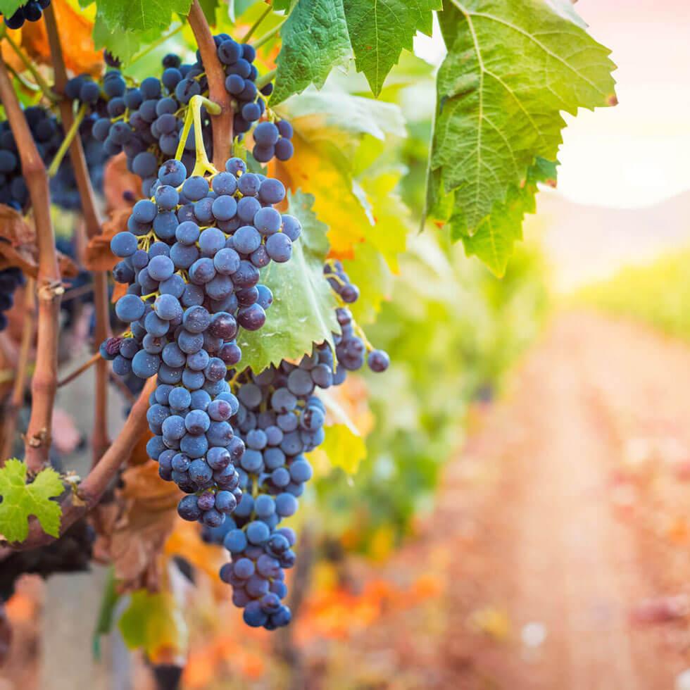 Trauben im Weinberg auf Sizilien bei Sonnenuntergang